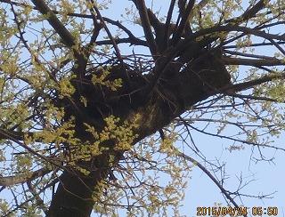 鴉の巣作り