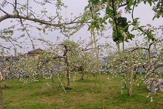 リンゴ園の朝