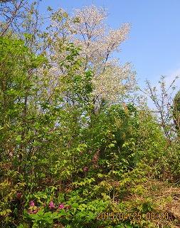 山桜とミツバツツジ