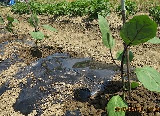 茄子の定植