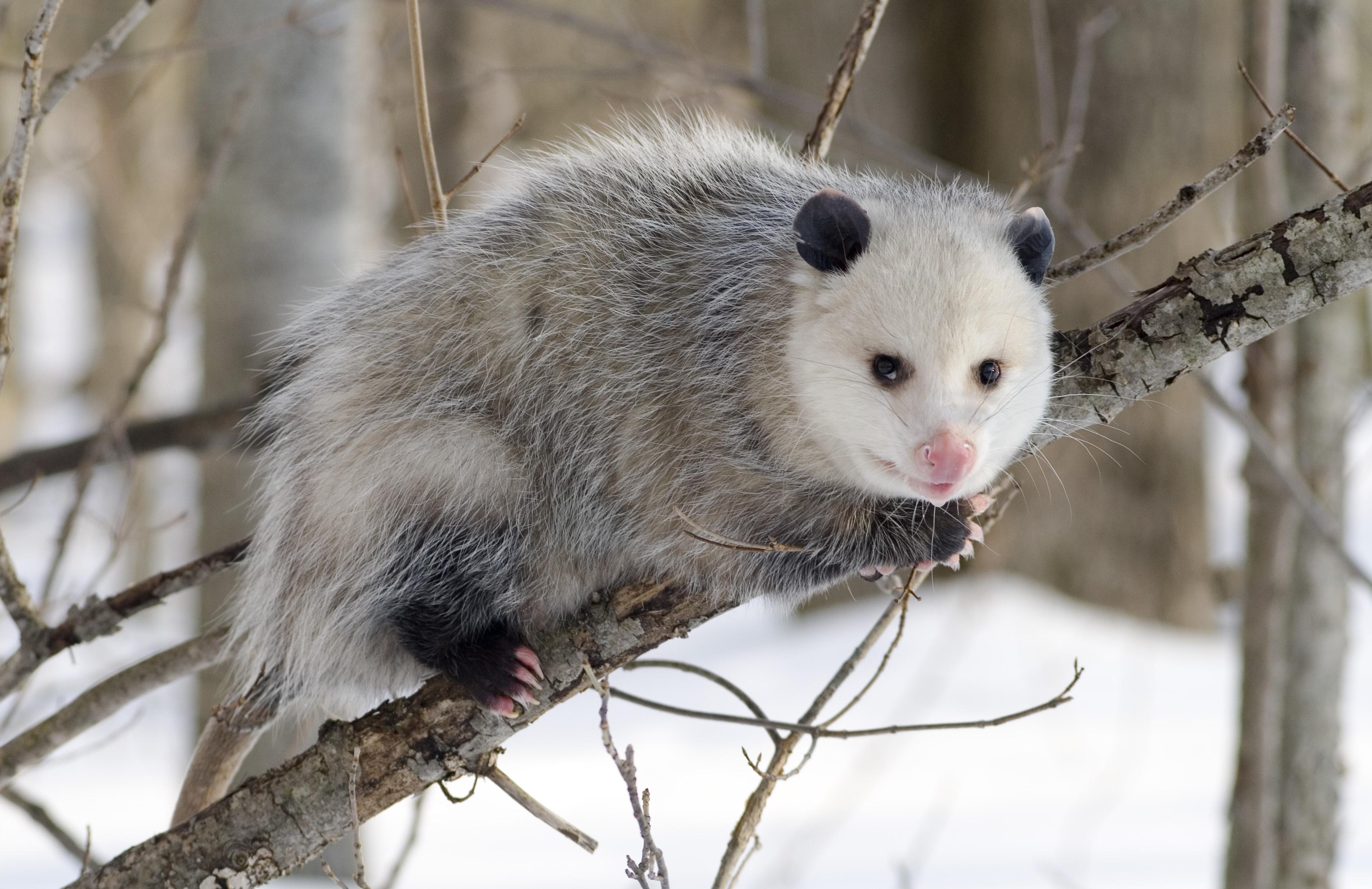 Opossum_1.jpg