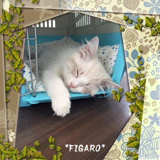 Cフィガロ20150527IMG_1448