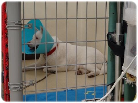 供血犬 (2)