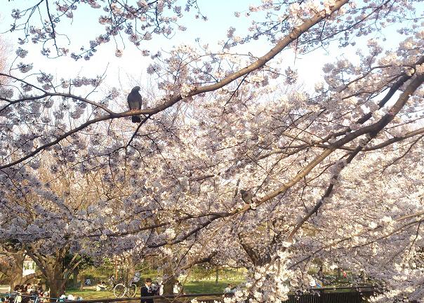 桜にハトが2羽
