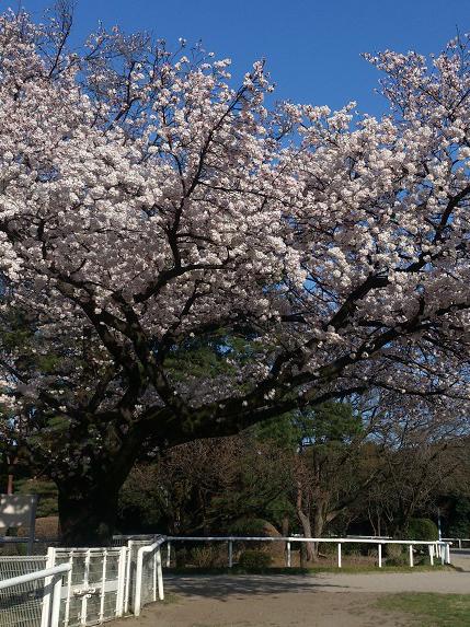 思い出の桜の木