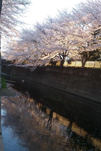 夕日と桜とコサギ