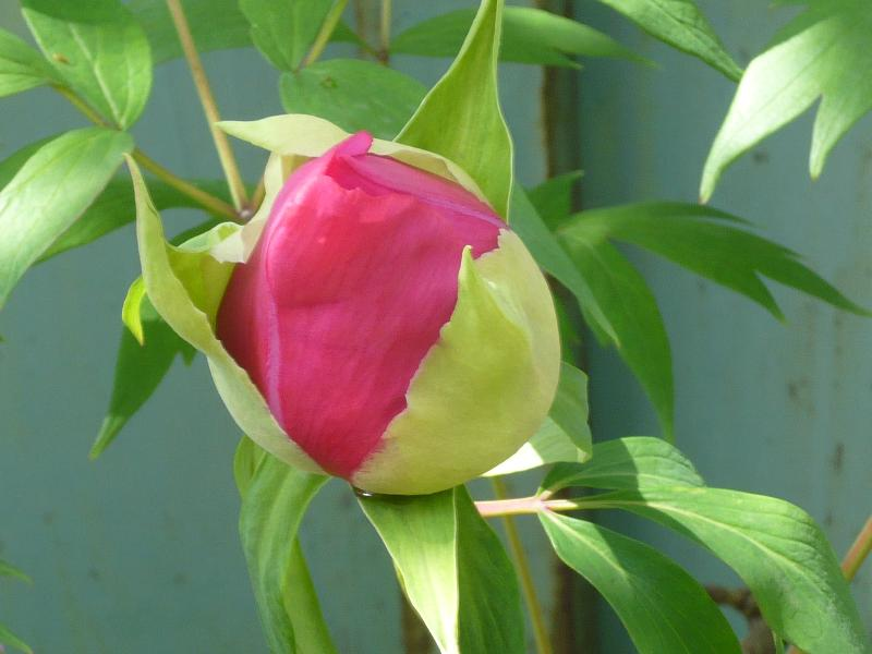 大きな花の蕾