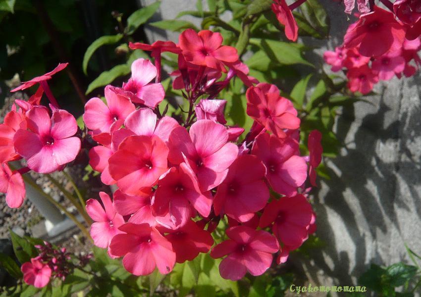 赤い盆花0817