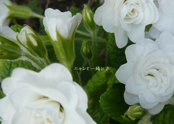 白プリ0430