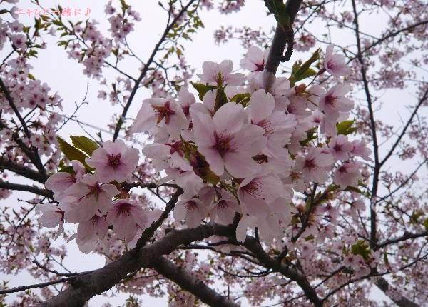 森桜050307