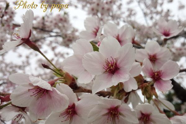 papasakura0503.jpg