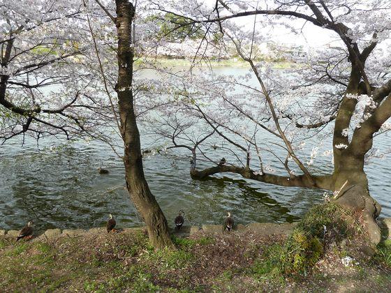 池のほとりで戯れる鳥たち