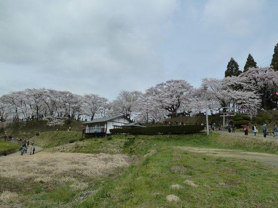 丘の上に咲き誇る桜