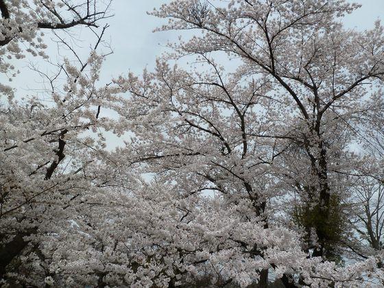 王子神社の桜