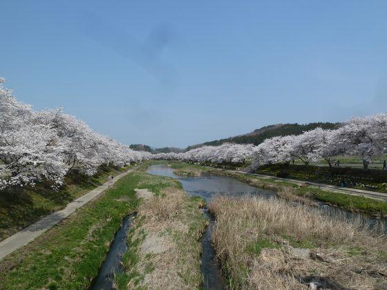 橋の上から眺めた夏井千本桜