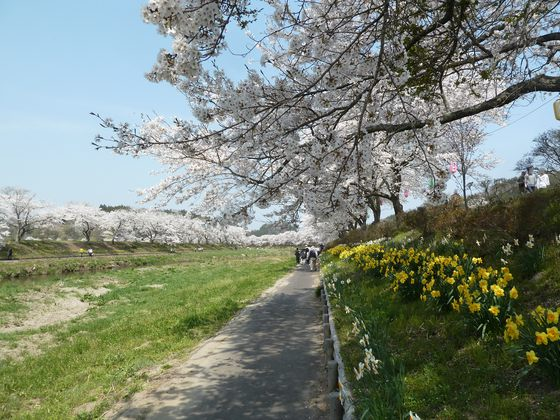 桜並木と遊歩道沿いに咲き乱れる水仙の花