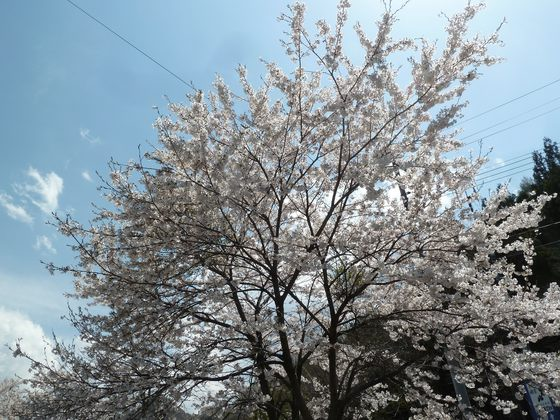 道の駅たじまの桜