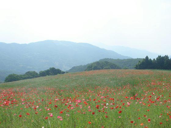天空を彩るポピー畑(皆野町)