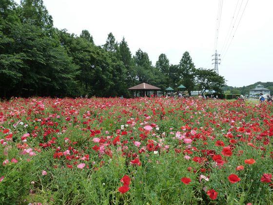 大宮花の丘農林公苑ポピー畑