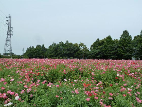 ピンクに染まるポピー畑