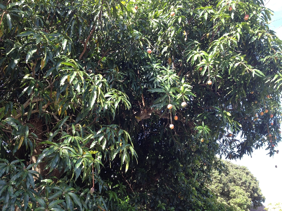 Mango-053015-4.jpg
