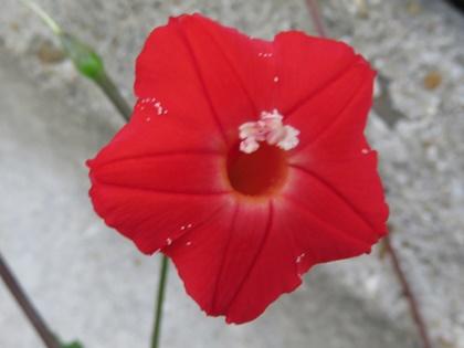 丸葉縷紅草9月