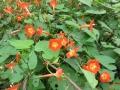 丸葉縷紅草10月