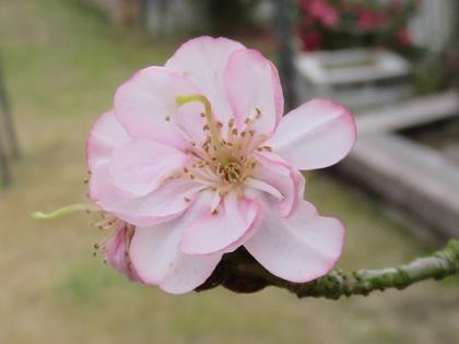 サクラ(十月桜) (1)
