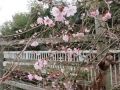 サクラ(十月桜) (2)