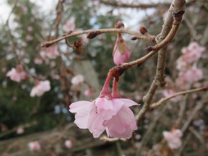 サクラ(十月桜) (3)