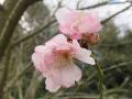 サクラ(十月桜) (5)