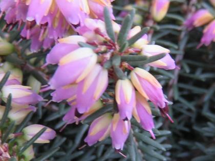 エリカ・ダーレンシスの花