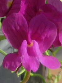 リナリアのピンク色の花