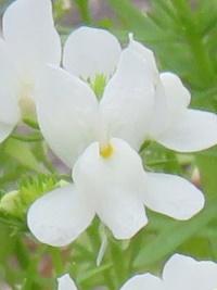 リナリアの白い花