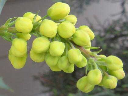 セイヨウヒイラギナンテンの花