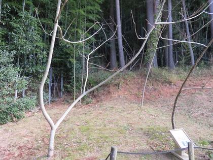 オニグルミの木 (4)