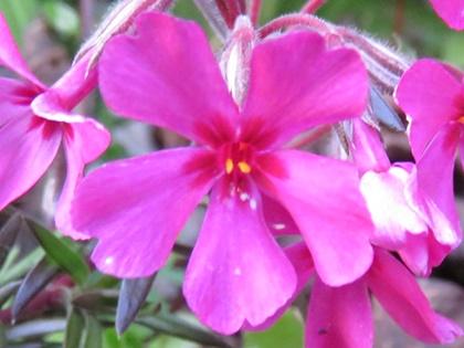 シバザクラの花冠
