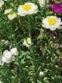 花かんざし (4)