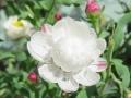 花かんざし (6)