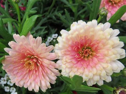 八重咲きマーガレット (1)