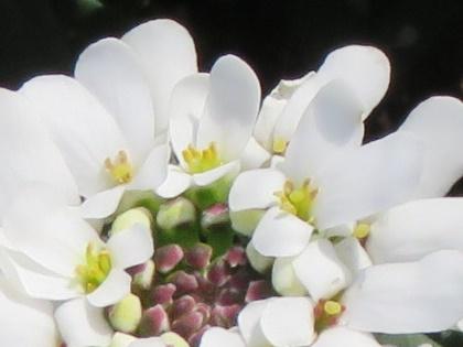 イベリスの小花