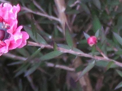ギョリュウバイの葉