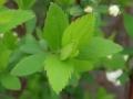 ユキヤナギの葉