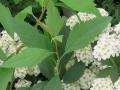 コデマリの葉