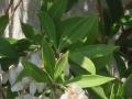 アセビの葉