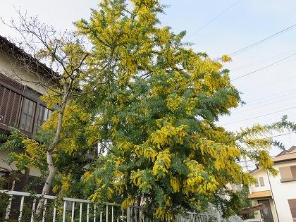 ギンヨウアカシア春 (1)
