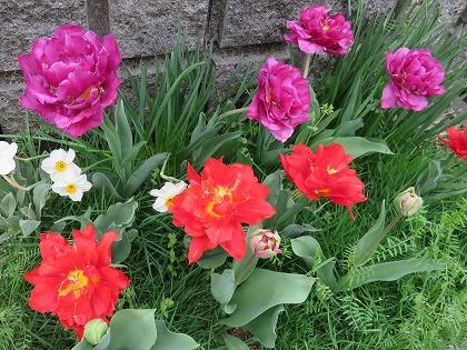 チューリップ(八重咲き)