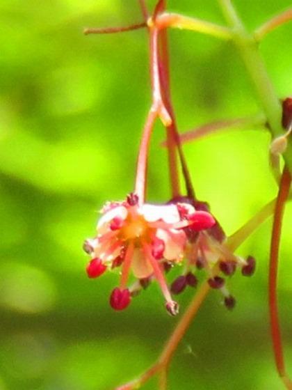 モミジの花 (1)