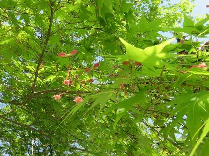 モミジの花と実 (2)