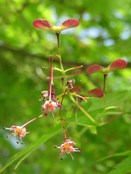 モミジの花と実 (4)